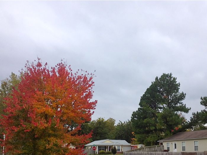 Orange tree against a gray sky