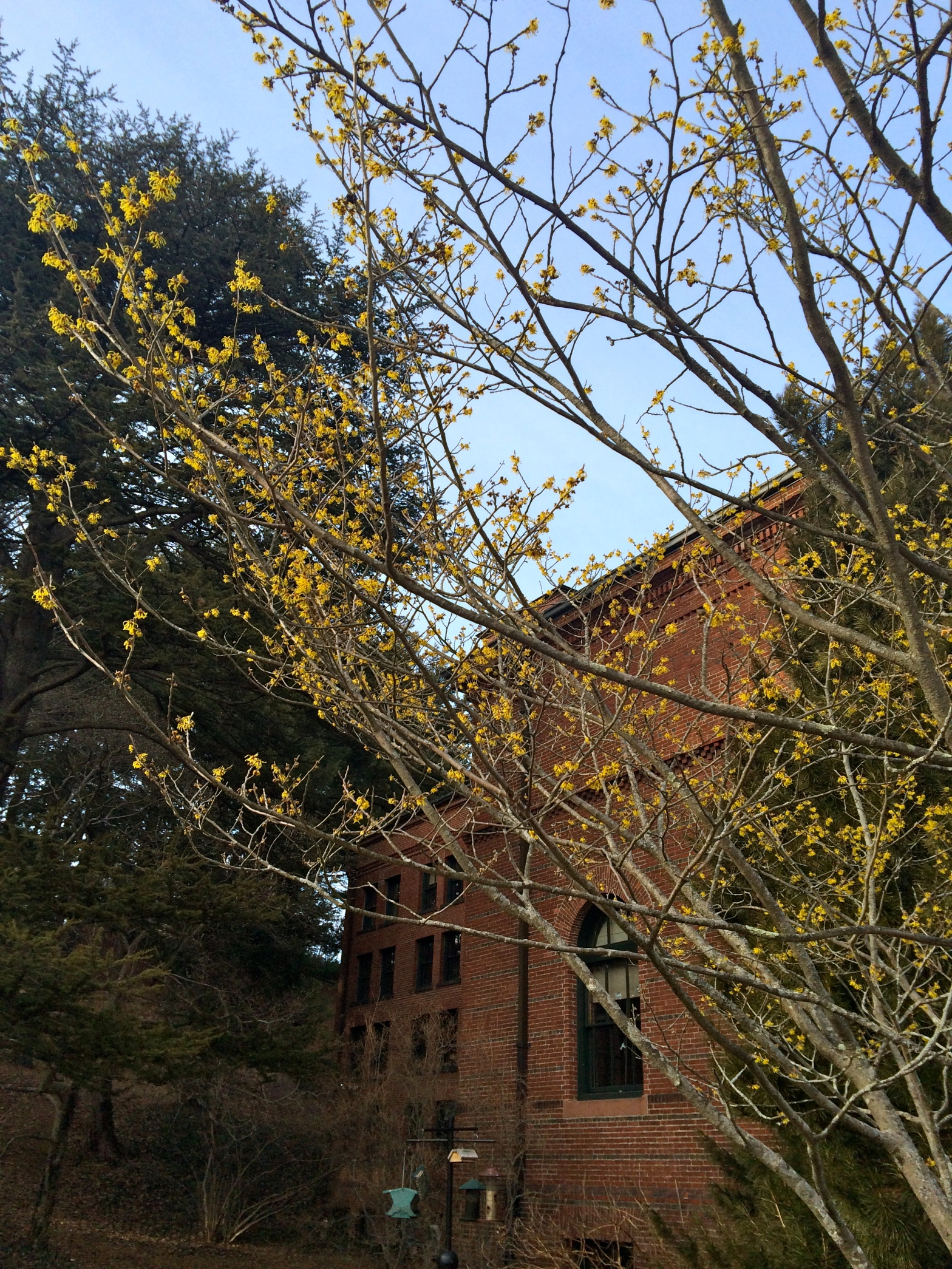 Yellow buds on a tree