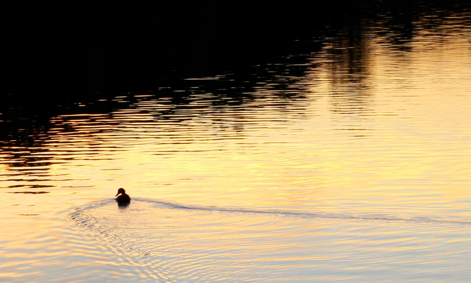 Duck swimming on sunset water