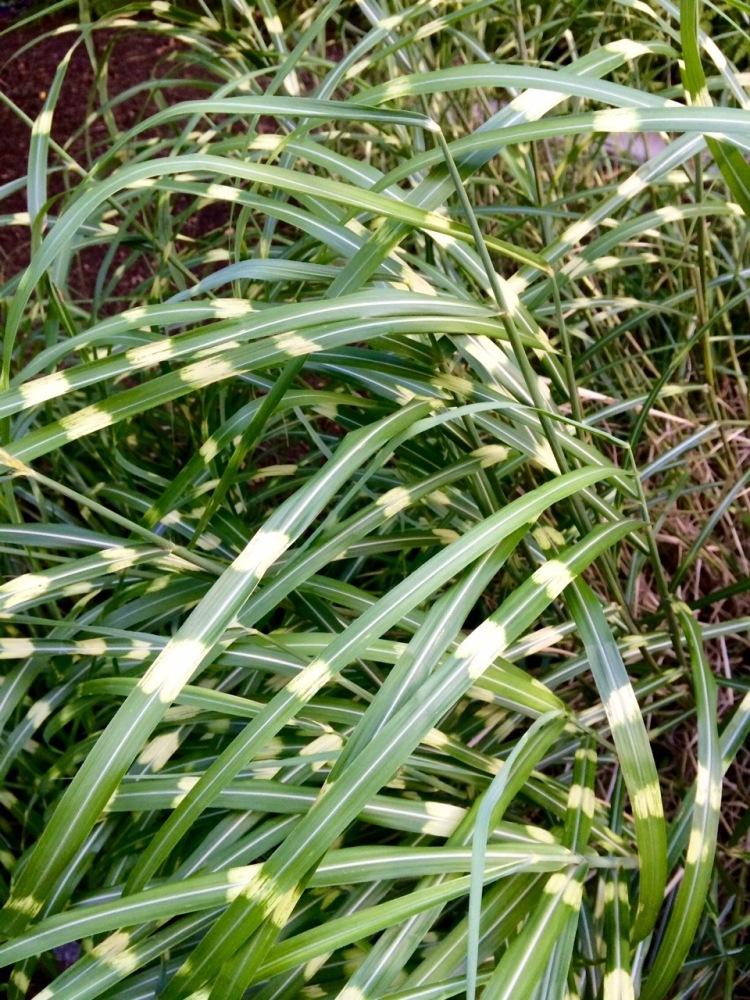 Polka dot grass