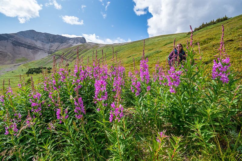 Purple alpine flowers in the foreground, with a brown-haired woman crouched behind them. Alpine mountains in the background.